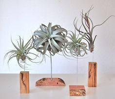 AIR PLANTS ON MESQUITE OR MAHOGANY STANDS (SOME WITH LIVE EDGE) Stands from $24.- $36. Air plants shown from $12- $30. (Stands and plants individually priced.)