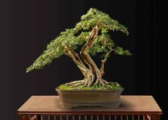 The shari (dead wood) on this bonsai gives it balance and elegance.
