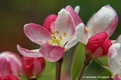 Apfelblüte ~ Apple blossom