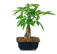 """The Money Tree is a classic example of a trained and braided trunk, with small green leaves that resemble """"money"""" to some. These trees are especially popular to give as gifts in parts of Asia, being that the tree is a traditional symbol of blessing and good fortune and add exception style to any home decor. Take part in the time-honored tradition, and give a gift that will grow and thrive just as you hope of your own future. See more bonsai trees for sale at www.nurserytreewholesalers.com!"""