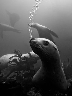 Sea Lion bubbles.