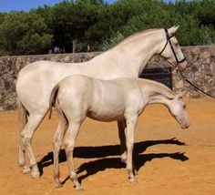Perfect horses - Champagne / cremello Lusitano mare and filly