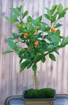bonsai-tangerine tree  ... They produce fragrant tropical flowers in spring followed by mini-tangerines.