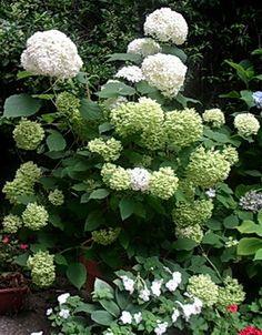 growing hydrangeas in pots