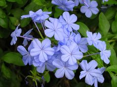 Plumbago auriculata, use in place of clementis