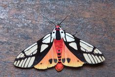 Flying Insects, Bugs And Insects, Beautiful Bugs, Beautiful Butterflies, Beautiful Creatures, Animals Beautiful, Colorful Moths, Tiger Moth, Cool Bugs