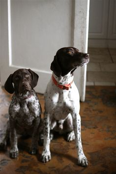 I know... I know..... not a westie! But my dad had a bird dog like this when I was young, she was so sweet, her name was Spot. Original name, I know. But she was absolutely precious!!
