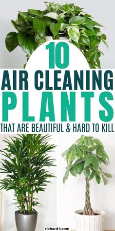 10 Indoor Air Cleaning Plants That Look Amazing & Filter Your Air All Day - 10 Air cleaning plants your home might just need! These air purifying indoor plants are beautiful and get the job done! Source by TheRealRichardT - Air Cleaning Plants, Air Plants, Garden Plants, Succulent Plants, Cactus Plants, Air Filtering Plants, Air Purifying Indoor Plants, Air Purify Plants, Tropical House Plants