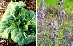 Collards + Catnip http://www.rodalesorganiclife.com/garden/26-plants-you-should-always-grow-side-by-side/slide/12