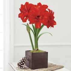 Amaryllis 'Red Peacock'