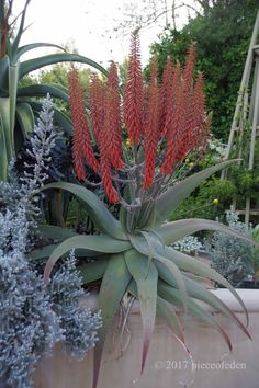 A bunch of flowers for a Sunday morning. Aloe pseudorubroviolacaea has put up two candelabras with about fifteen stems each. It is qu. Cacti And Succulents, Succulent Ideas, Bunch Of Flowers, Pictures To Paint, Sunday Morning, Garden Plants, Art Projects, Cactus, Stems