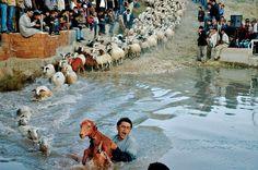 Günün Karesi Burdur'dan Burdur Hasanpaşa her yıl Çoban Bayramı'na sahne oluyor. Çobanlar, sürülerini sorunsuz ve seri bir şekilde suya sokup karşı tarafa geçirmeye çalışıyor. Yaşlı genç herkesi bir araya getiren bu coşkulu geleneğin bir amacı da otlatma sezonu bitiminde koyunların temizlenmesi ve sahiplerine öyle teslim edilmesi. F: Umut Kaçar www.atlasdergisi.com