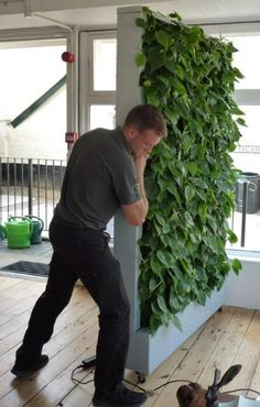 Neat idea for a dividing wall using Golden Pothos. Help clean your indoor air and give you some privacy.