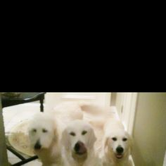 SO NICE TO HAVE THESE excited welcomers when arriving home! Norman~smeraglia.com GOLDENDOODLE CharlieBear~euroGoldenRetriever Tate~lil sister...euroGoldenRetriever
