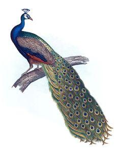 peacock scientific print - Bing Images