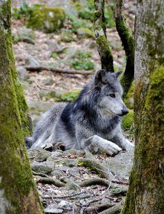 Wonderwolf