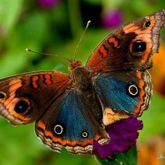 Junonia orithya (male, with bright blue hindwing)