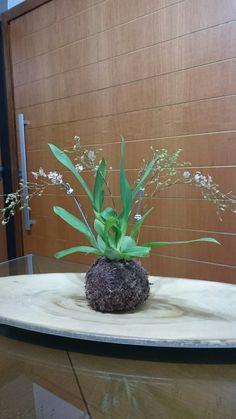 Orquidea kokedama