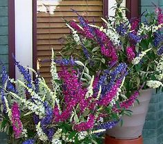 Cottage Farms 3-pc Flutterby Multi-Color 3-in-1 Butterfly Bush - to make sure all the butterflies stop here.
