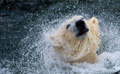 """Urso polar """"Sprinter"""" brinca com uma bola no zoológico de Hanover, na Alemanha."""