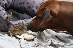 Rhodesian Ridgeback Dog cares for little wild rabbits