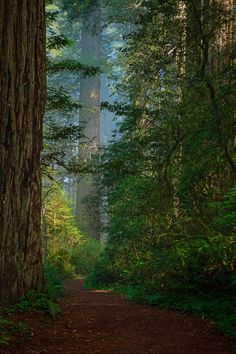 Redwoods by Ralph Nordstrom on 500px