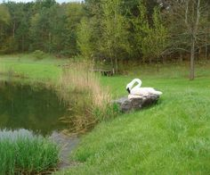 How to make a Trumpeter Swan Outdoor Sculpture with my Custom Concrete recipe...