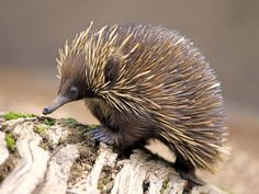 Absurd Creature of the Week: Forget the Platypus. The Echidna Is the True Champ of Weird Absurd Creature of the Week: Forget the Platypus. The Echidna Is the True Champ of Weird List Of Animals, Baby Animals, Funny Animals, Cute Animals, Nocturnal Animals, Wild Animals Photography, Wildlife Photography, Australia Animals, Unusual Animals