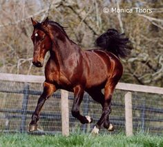Niatross, one of the most successful and influential Standardbreds in America