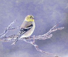American Goldfinch 5   Artist  Deena Stoddard   Medium  Photograph - Photograph    Description  This handsome little finch, the state bird of New Jersey, Iowa, and Washington  #birdphotography #deenastoddard