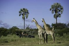 Tubu Tree Camp offers a traditional tented camp feel with large walk in tents raised on wooden platforms overlooking the stunning views and wildlife. Beautiful Scenery, Stunning View, Tree Camping, Okavango Delta, Game Reserve, Giraffe, Tent, Wildlife, Landscape