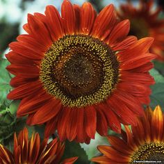 A must-have for any sunflower lover, Red Sun's vibrant, bronze/maroon petals are offset by dark centers, creating a unique statement in the summer garden. Blooming a little later in the summer and growing to be about 5-6' tall,  this Sunflower extends the bloom season with a splash of vibrant color. Red Sun is a fantastic cut flower, often lasting up to 10 days in a vase. Bonus: bees, butterflies and hummingbirds love this easy-to-pollinate variety!