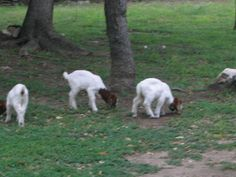 Pet Boar goat kids I brought home on 4-9-2009. Daisy, Dixie and Dot.