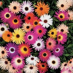 A very floriferous mix of Livingstone Daisies with solids and bicolors; perfect for hot, dry garden spots.