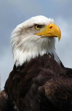 Photo about American bald eagle, head and shoulders. Image of feather, prey, bird - 10548363 Eagle Images, Eagle Pictures, Bald Headed Eagle, Bald Eagle, Eagle Background, Eagle Art, Eagle Tattoos, Eagle Head, Animal Silhouette