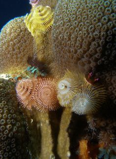 ✯ Xmas Tree Worms .. Photography David Kittos✯