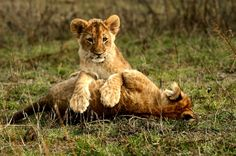 Photo by Michal Prasek Brown Bear, Big Cats, Mammals, Lions, Wilderness, Wildlife, Into The Wild, Lion