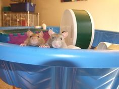 Ratty Rat Rattery, San Diego, CA. How We Care For Our Ratties and some tips for how to care for yours!