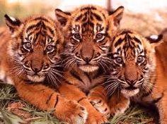 tre tigri contro tre tigri ripetete ahahah
