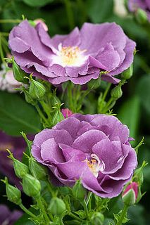 Rosa Rhapsody in Blue ('Frantasia') | Alan Buckingham, flickr