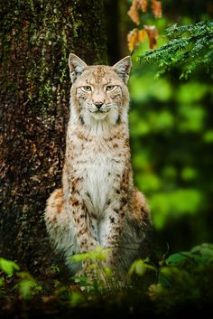 Lynx.   (KO) A beautiful cat with a lovely coat of fur. Very impressive kitty. Wild and wonderful.