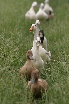 Ducks in a line.