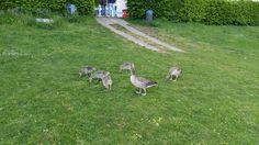 Family goose