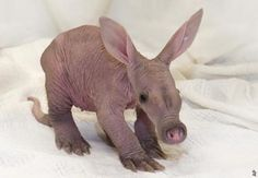 Baby aardvark, OMG it is so awkward it is cute....