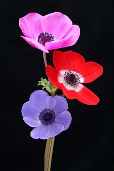 Anemones by Brian Haslam**