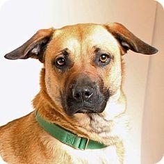Walnut Creek, CA - Labrador Retriever/German Shepherd Dog Mix. Meet Angelina, a dog for adoption. http://www.adoptapet.com/pet/12532374-walnut-creek-california-labrador-retriever-mix