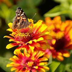 Papillon sur fleur by Mario Groleau, via Flickr