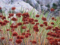 california buckwheat (Erigonum fasciculatum) and yucca (looks like devils punch bowl behind)