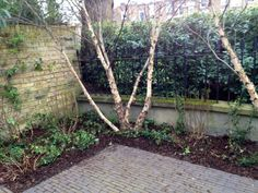 More Betula and ivy, the process continues Notting Hill, Ivy, Gardens, Plants, Design, Outdoor Gardens, Plant, Garden