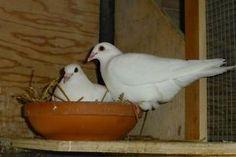 Pigeon (White Racing Homers or Wedding Dove) Oakville / Halton Region Toronto (GTA) image 1